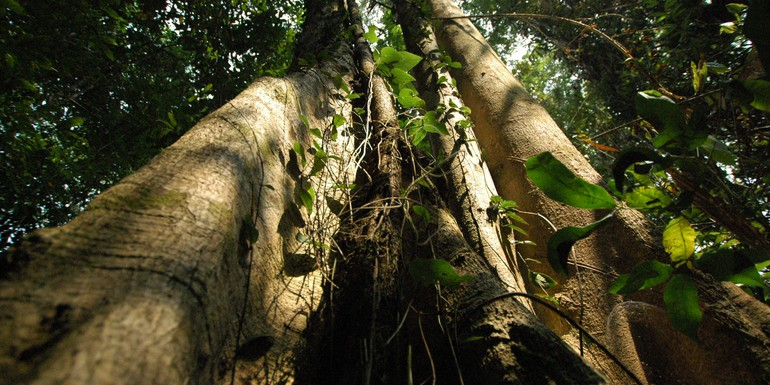 Indonesia tree KLD photo.jpg